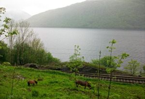 Horses grazing by a fjord. Beautifully scenic.